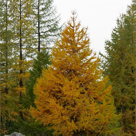 Livigno, Lombardy, Italy by Serguei Ouklonski - Landscapes Forests ( forest, color, bright, scenic, scenery, gold, larix, fall, season, wood, day, larch, scenics, sky, no person, nature, change, tree, beauty in nature, environment, outdoors, growth, autumn, travel, wild, no people, landscape, nature landscape )