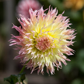 Frilly by Janet Marsh - Flowers Single Flower ( dahlia, yellow and pink )