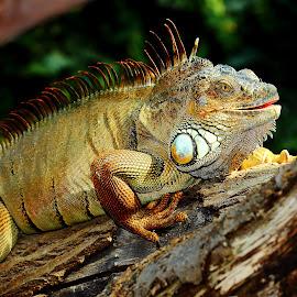 Iguane mâle by Gérard CHATENET - Animals Reptiles