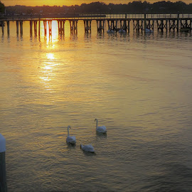 Swans at dusk by Lew Hill - Uncategorized All Uncategorized ( keyport, trio, dusk, swan, sunset, three )