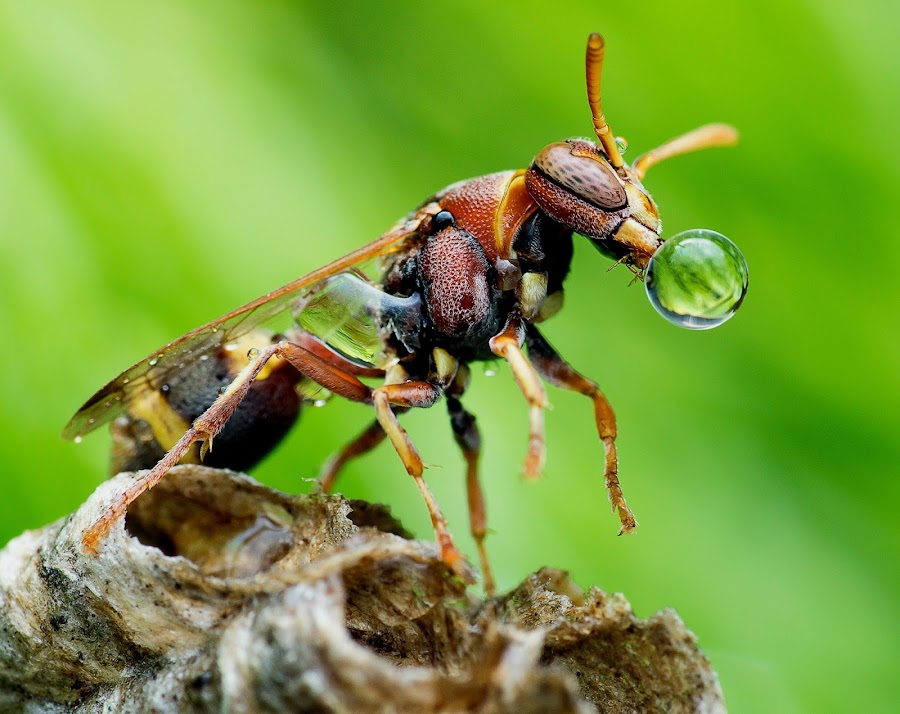 Wasp 151202A by Carrot Lim - Animals Insects & Spiders ( colour, macro, wasp, insects, water droplets )