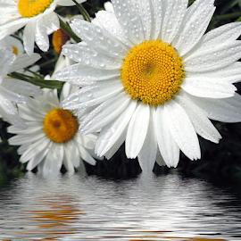 white flowers by LADOCKi Elvira - Digital Art Things ( flowers )