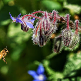 Bee in flight  by Todd Reynolds - Animals Insects & Spiders