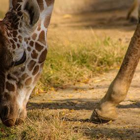 Giraffe by Steph Doyle - Animals Other Mammals ( zoo, giraffe, grass, adopt, eat, baby, philadelphia )