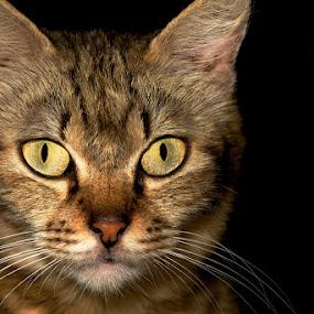 The Eyes by Sharulfizam Adam - Animals - Cats Portraits