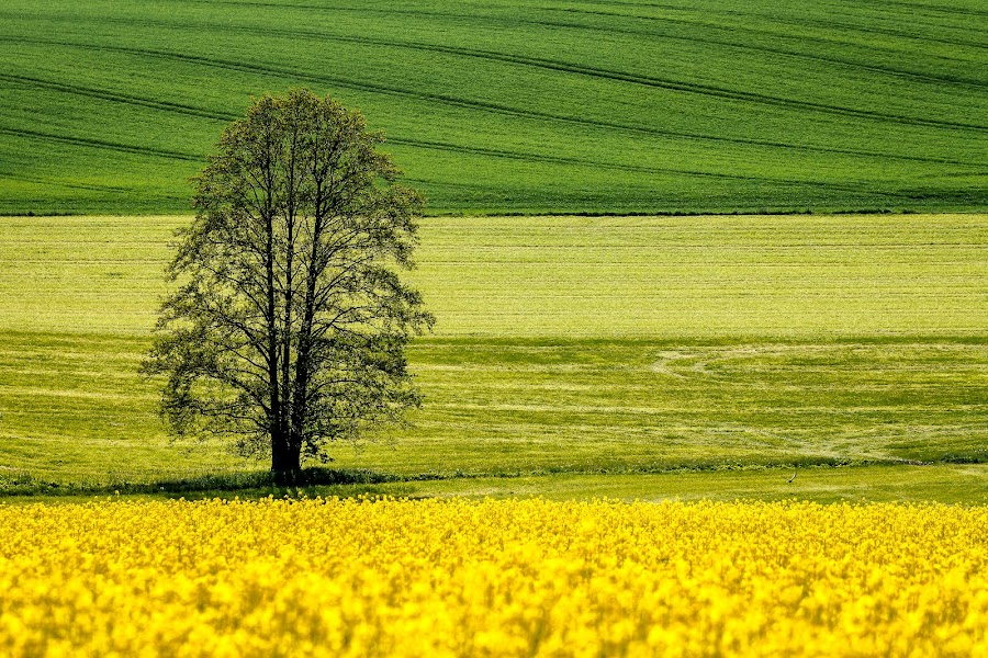 The master by Thorsten Scheel - Landscapes Prairies, Meadows & Fields ( field, tree, green, yellow )