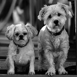 Merlin & Paris B&W by Shawn Thomas - Black & White Animals