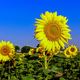 sunflowers by Mohsin Raza - Flowers Flowers in the Wild