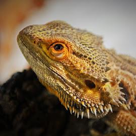I AM Watching You by Kurt Bailey - Animals Reptiles (  )
