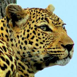 Leopard by Fanie van Vuuren - Animals Lions, Tigers & Big Cats
