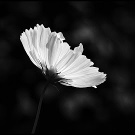 Flower by Dave Lipchen - Black & White Flowers & Plants ( flower )