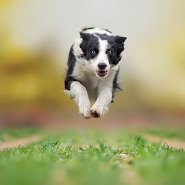 Hypnotic Look by Claudio Piccoli - Animals - Dogs Running ( dogsinaction, flyingdogs, puppy, bordercollie, run, running )