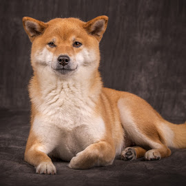 I am the Queen  by Astrid Kallerud - Animals - Dogs Portraits ( shiba, dogs, pet photography, dog, pet, dog portrait )