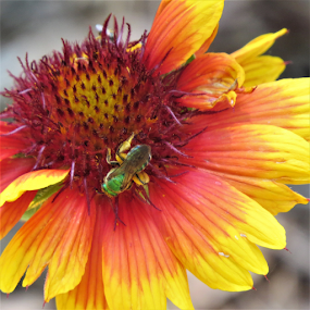 Green Bee on Daisy! by Hal Gonzales - Flowers Flowers in the Wild ( pollen, bee, green, daisy, pollination,  )