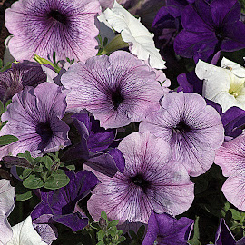 by Anita Frazer - Flowers Flower Gardens ( plant, annuals, purple, flowers,  )