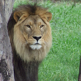 African Lion by Trevor Smart - Animals Lions, Tigers & Big Cats ( lion, african, lookout, male, trees )