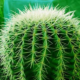 CACTUS by SANGEETA MENA  - Nature Up Close Gardens & Produce (  )