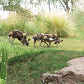 Painted African Dogs by Donna Probasco - Novices Only Wildlife