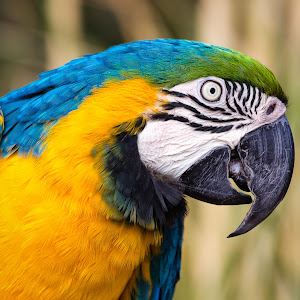 Blue Yellow Macaw-10.jpg