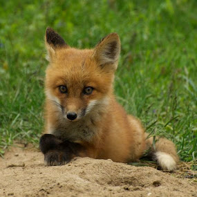 saying a prayer by Deb Dicker - Animals Other Mammals ( fox, nature, pup, mamal, closeup, kit, animal,  )