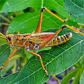 { Profile of a Hungry Grass Hopper }  by Jeffrey Lee - Animals Insects & Spiders ( grass hopper,  )