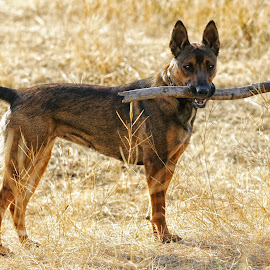 Fetch - 4156 by Twin Wranglers Baker - Animals - Dogs Playing (  )