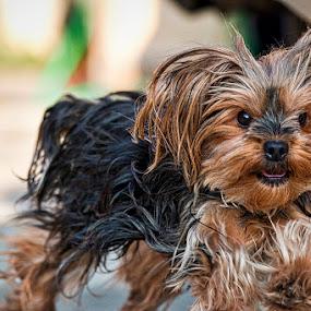 Disheveled! by Sergio Yorick - Animals - Dogs Running ( yorkshire, color, dog, running, animal )