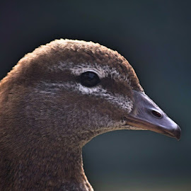 Duck profile by Amanda Daly - Novices Only Wildlife