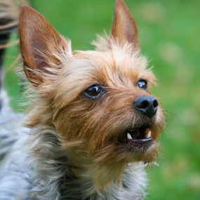 Cindyloo by Briand Sanderson - Animals - Dogs Portraits ( doggie, canine, yorkshire terrier, yorkie, terrier, cindyloo, dog, mammal, yorky, animal,  )