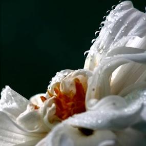 The Flower by Soumaya Karmakar - Flowers Single Flower (  )