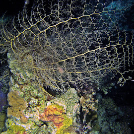 basketstar by AB Rossouw - Nature Up Close Water ( water, coral, night photography, scuba, diving )