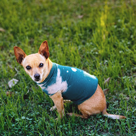 Chihuahua on the Green by Rob Heber - Animals - Dogs Portraits ( natural light, tan colored, yard, cute, dog wearing vest, domestic animal, shallow depth of field, sitting in grass, nature, no people, dog wearing clothes, looking directly at camera, animal, golden hour, green greass, grass, green, snout, plant life, expressive, tail, posing, mammal, canine, pet portrait, sitting, pet, pointed ears, outdoors, selective focus, whiskers, adorable, weeds, dog, chihuahua, outside, growth )