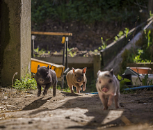 Piglets, livestock at Mares Community Farm