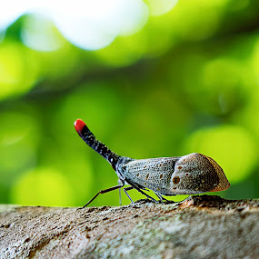 lantern bug by Zaidi Razak - Animals Insects & Spiders