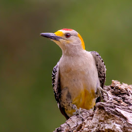 Golden-fronted Woodpecker by Steve Munford - Animals Birds ( animals, nature, woodpecker, golden-fronted, birds )