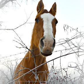 Frosty by Sue Neitzel - Animals Horses ( farm, horses,  )
