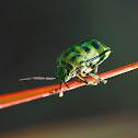 Asian Jewell bug, or Shield bug