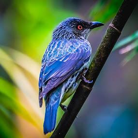 Blue Boy by Ken Nicol - Animals Birds (  )