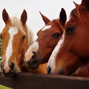 Heard it through the grapevine. by Brenda Shoemake - Animals Horses (  )