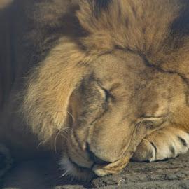 Sleeping Lon by Laurie Crosson - Animals Lions, Tigers & Big Cats ( lion, cat, sleep animal, cuddly, ig cat, cute, sleep )