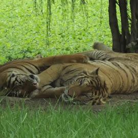 Huging by Vivek Madura - Animals Lions, Tigers & Big Cats ( big cat, animals, tiger, tigers, animal )