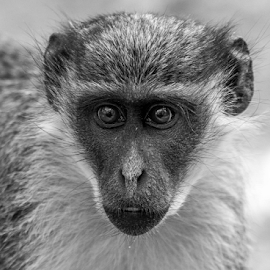 Vervet monkey by Garry Chisholm - Black & White Animals ( primate, senegambia, africa, nature, green vervet monkey, gambiaq, wildlife, garry chisholm, canon )