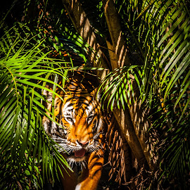 You see me too late by Maurizio Riccio - Animals Lions, Tigers & Big Cats ( big cat, tiger, nature, stalking, camouflage, stalker, animal )