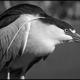 Black-crowned Night Heron by Dave Lipchen - Black & White Animals ( black-crowned night heron )