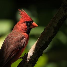 by Steven Aicinena - Animals Birds