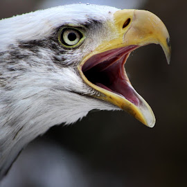 by Steven Maerz - Animals Birds ( #bald #eagle #raptor #squak )