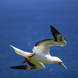 A red footed booby bird flying high in the sky  by LaDonna McCray - Animals Birds ( kilaluea, bird, blue, wings, footed, white, feathers, red footed booby )