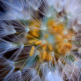 Dandelion by Annette van der Aa - Abstract Macro ( nature, macro photography, nature close up, seeds, flowers )