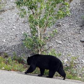 Black Bear Walking by Linda Doerr - Animals Other Mammals ( bear, walking, wildlife, road, mountain road, black )