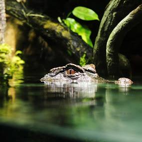 by Ram Seth - Animals Reptiles ( crocodile, aquarium, baltimore, nature up close,  )
